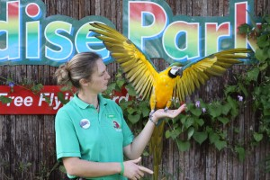 Free-Flying-Bird-Show-Paradise-Park-Cornwall-parrot-show