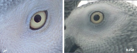 africangrey-eye-sexfemale