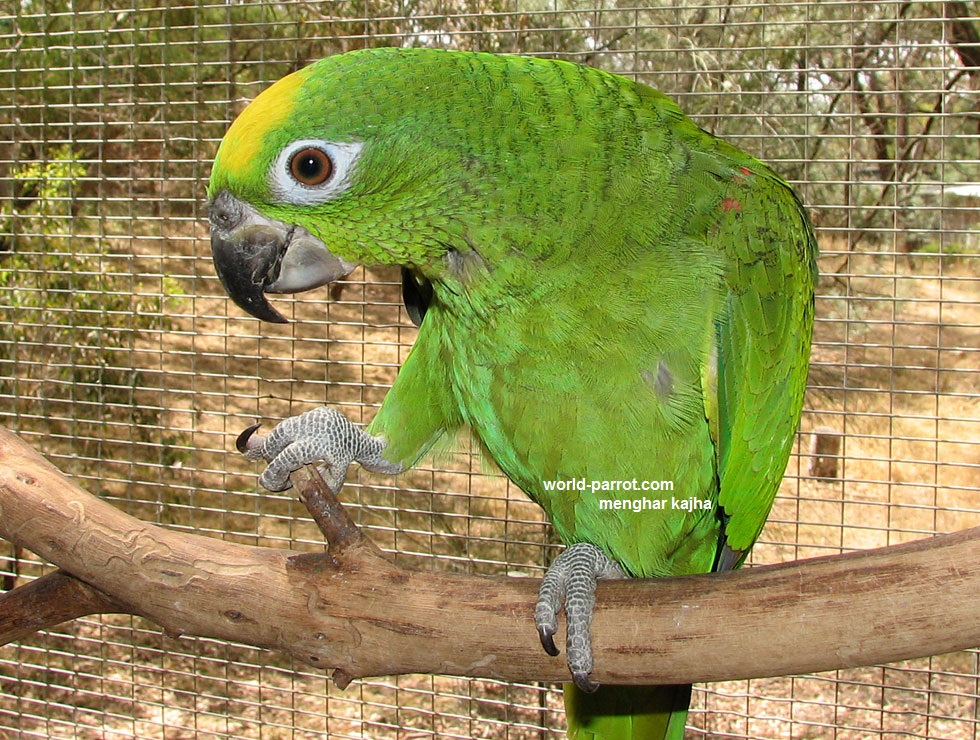 yellow-crowned-amazon-parrot