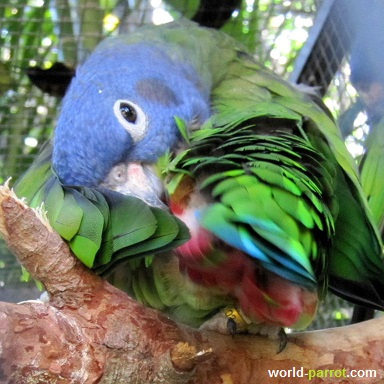 blue-headed-pionus