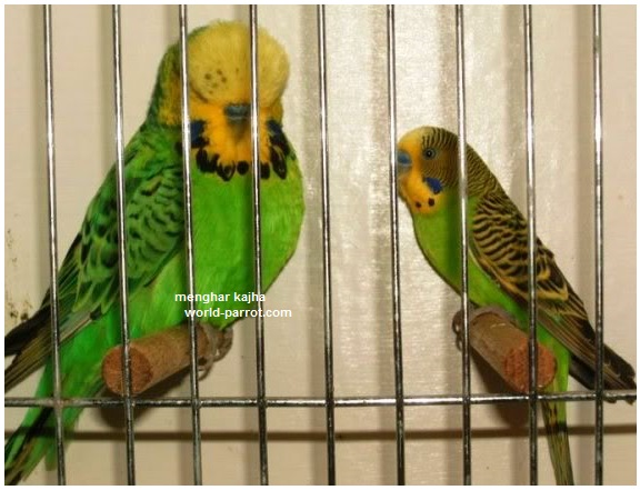 holland-budgerigar