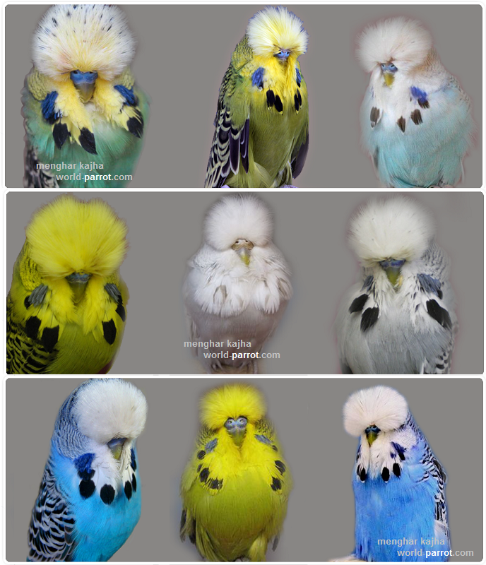 holland-budgerigar-asil