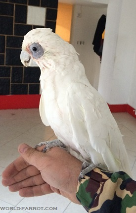 Bare-eyed Cockatoo