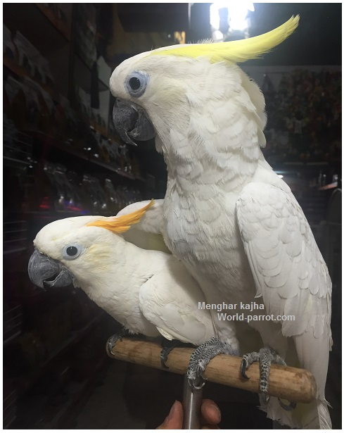 Citron-crested-and-sulphur-crested-cockatoo