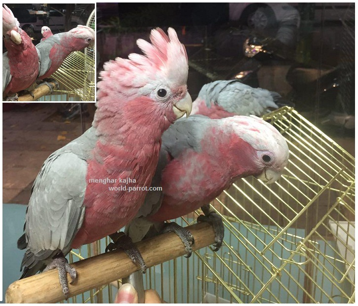 cockatoo-galah