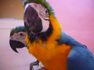 images/download_dl_macow_blueandgold_parrot_bird_chick_babymovies