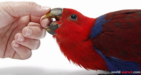 eclectus-parrot-chick