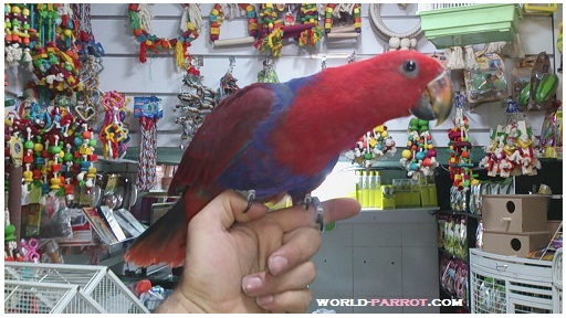 eclectus/eclectus-parrot-female-red