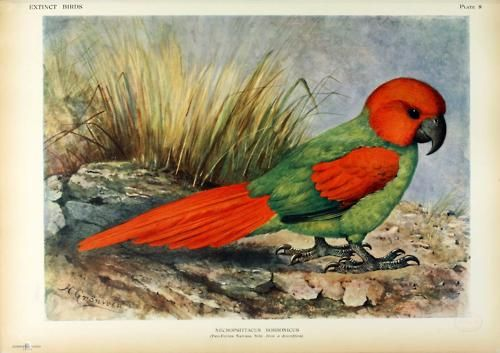 African Rudrigues Parrot