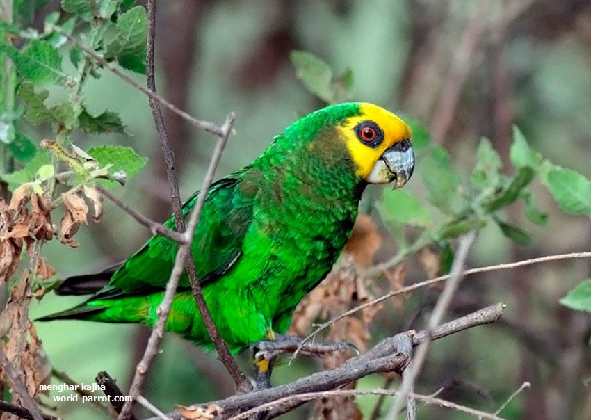 African-Yellow-Faced