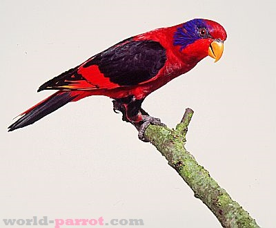 Black-winged-Lory