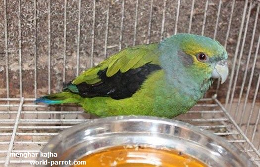 Black-winged Parrot