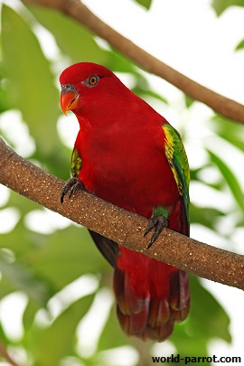 Chattering-Lory