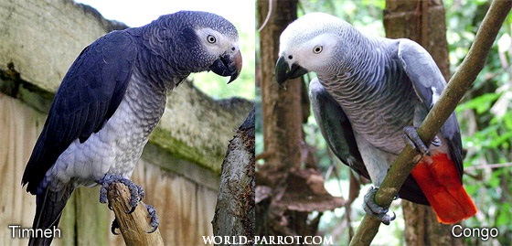 Congo-and-Timneh-Parrots