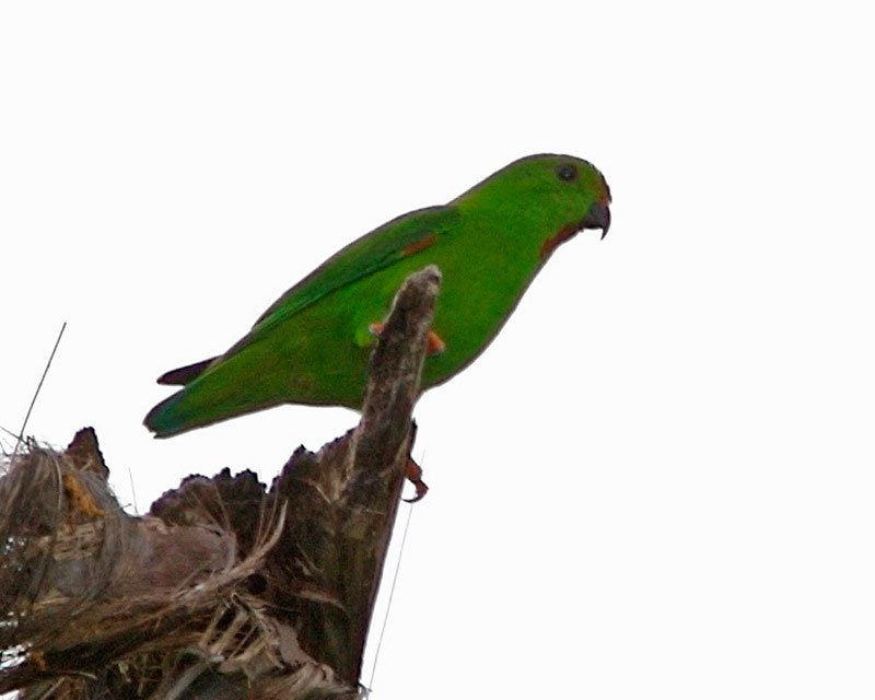 Green-fronted-Hanging-Parrot.