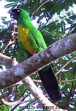Masked-Shining-Parrot