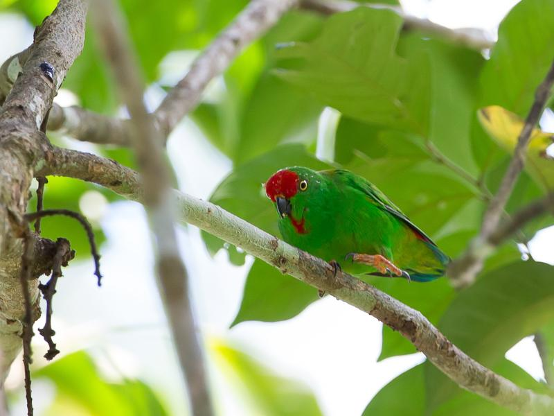 Moluccan-Hanging-Parrot