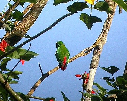 Wallace's Hanging Parrot