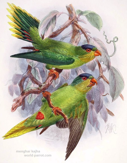 New Caledonian Lorikeet