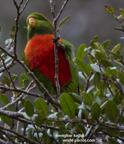 Orange-billed-Lorikeet