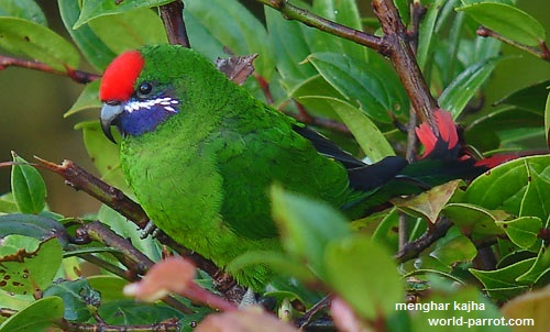 Plum-faced-Lorikeet