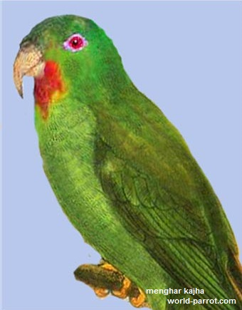 Red-chinned-Lorikeet