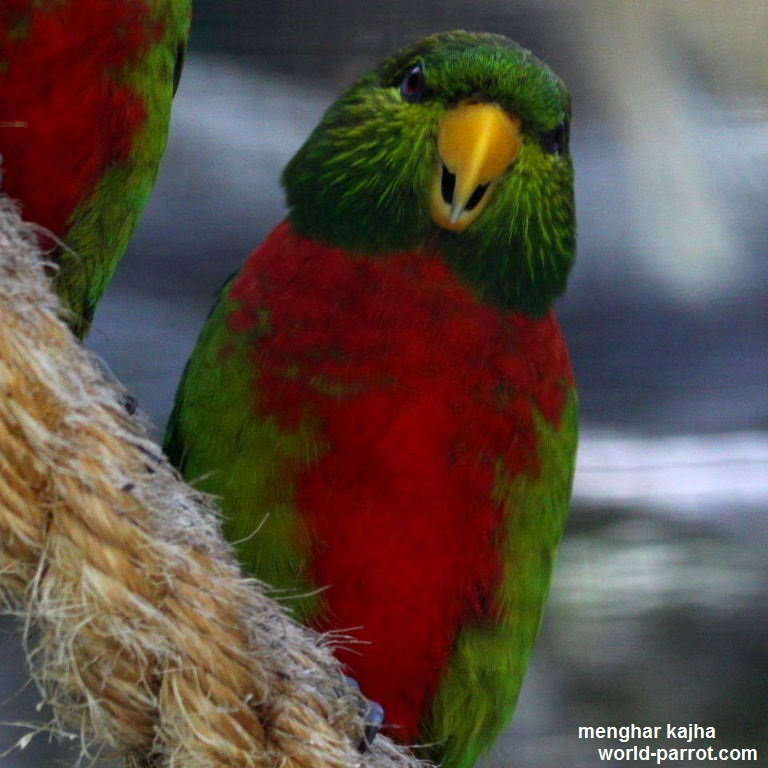 Yellow-billed-Lorikeet