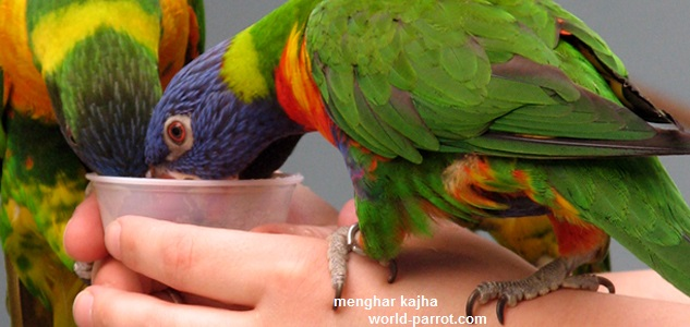 lorikeet-birds