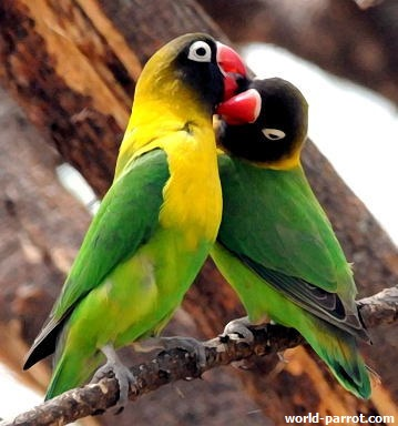 Lovebird-Yellow-Collared-Tar-SDolberg