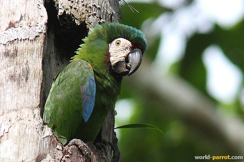 Chestnut-fronted-Macaw-Ara-severus