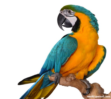 blue-and-gold-macaw
