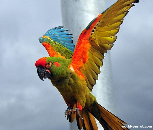 red-fronted-macaw