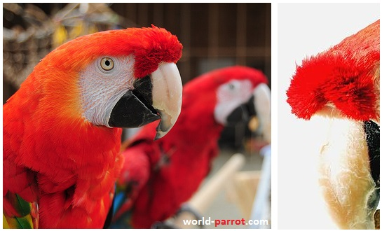 scarlet-macaw-front