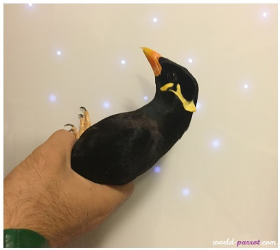 Common-hill-myna