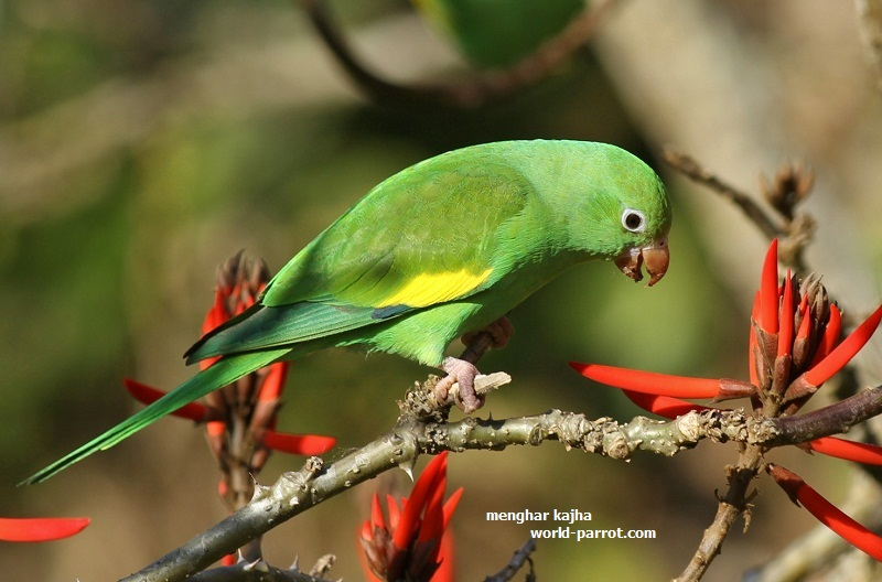 Yellow-Chevroned-Parakeet