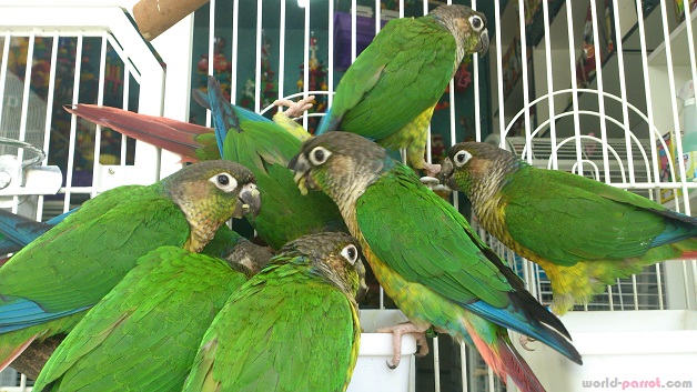 green-cheeked-conure