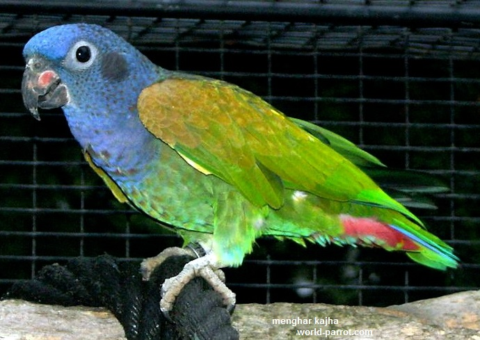 Pionus-Blue-Headed-pionus