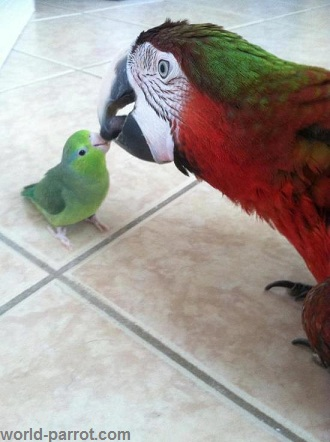 iranparrotcom_world_parrot_tehran_pakistan_toy_birds_lovebirds
