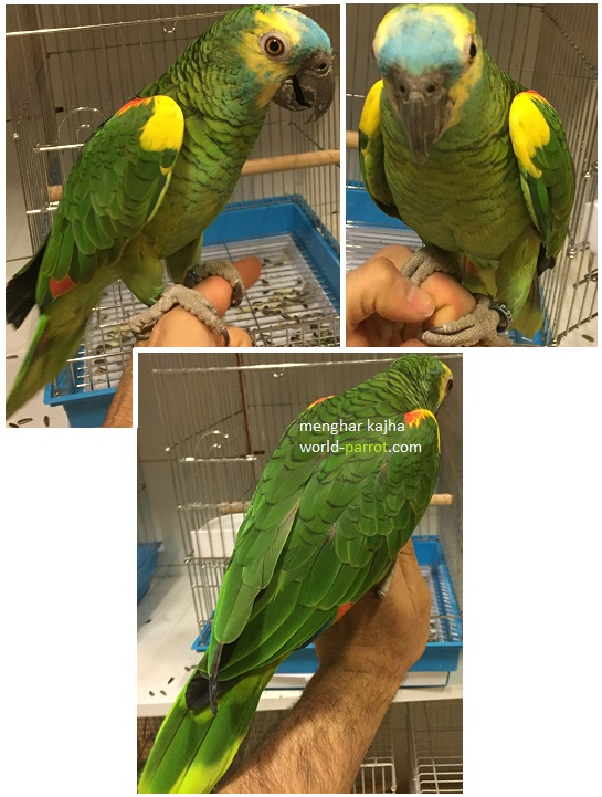 blue-fronted-amazon-parrot-tropical