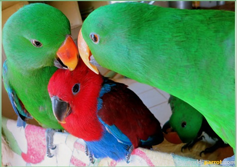 eclectus-birds-male-female-chick-baby