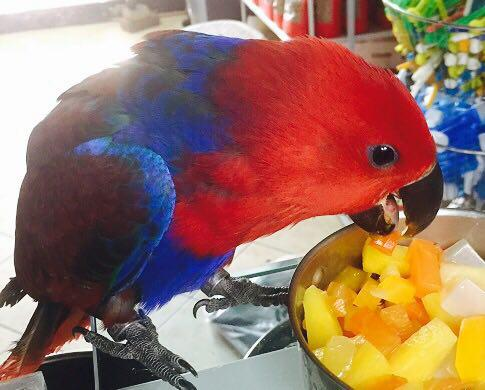 fmale-eclectus-parrot-iran-baby-for-sale2
