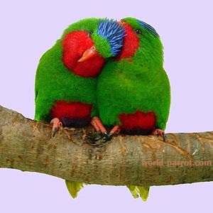 Blue-crowned LorikeetLory