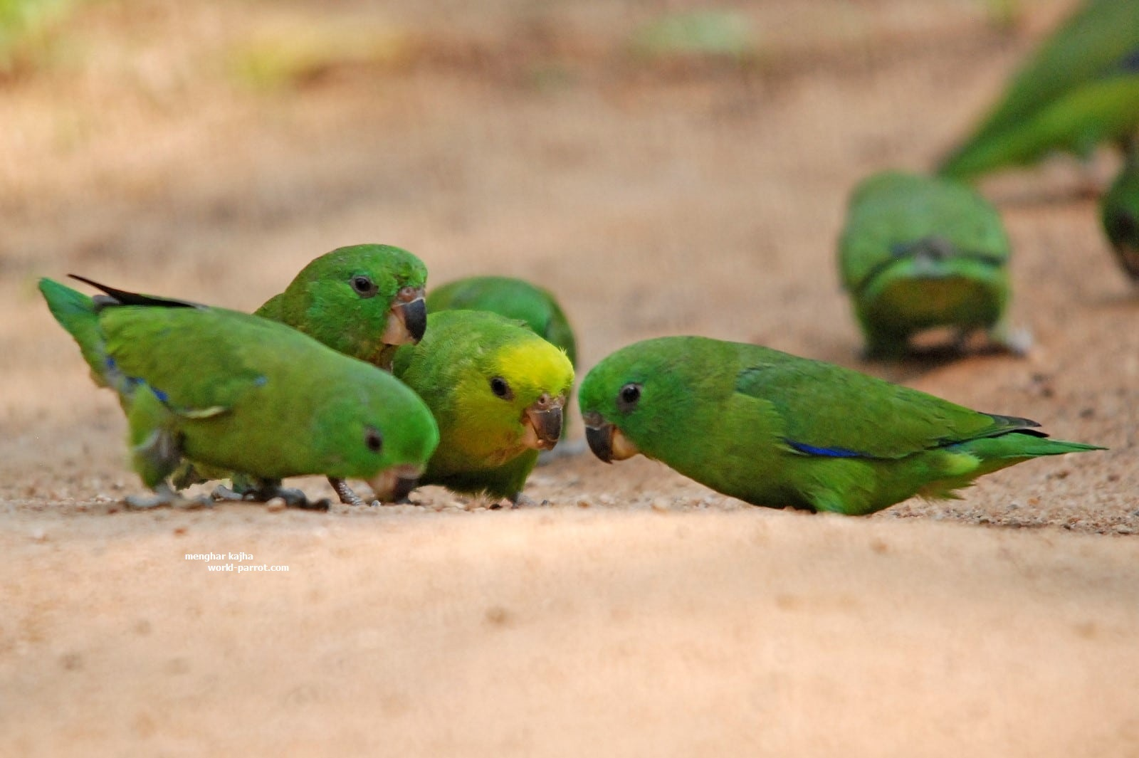 Dusky-billed Parrotlet