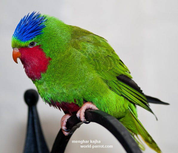 Blue-crowned-lorikeet